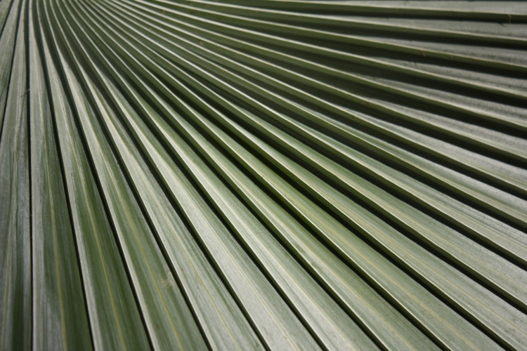 Bismarkia nobilis, western Madagascar, 2008
