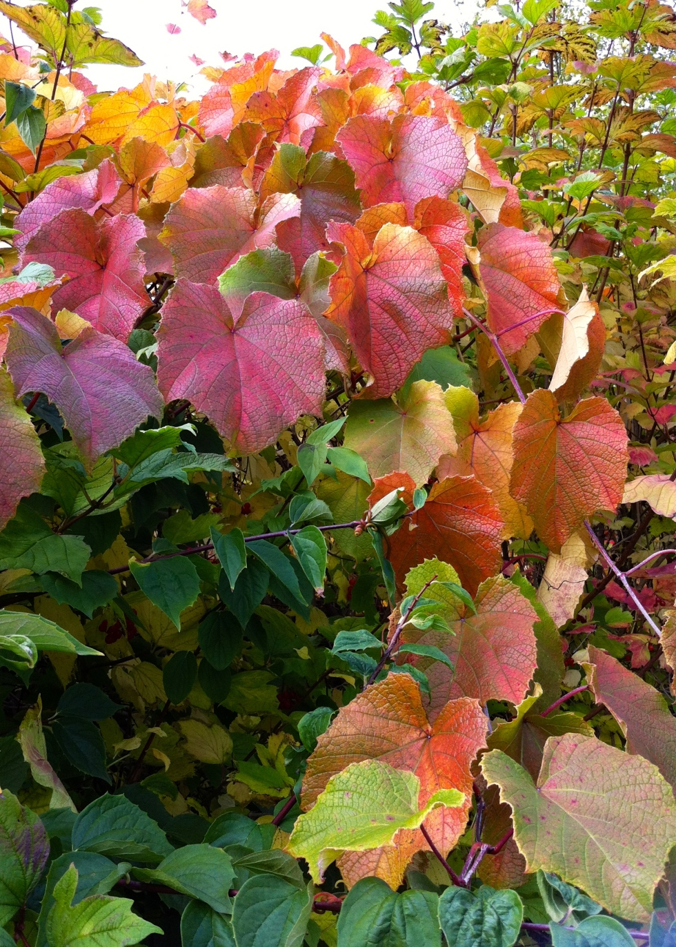 Vitis coignetiae, Kenwood House, October 2013