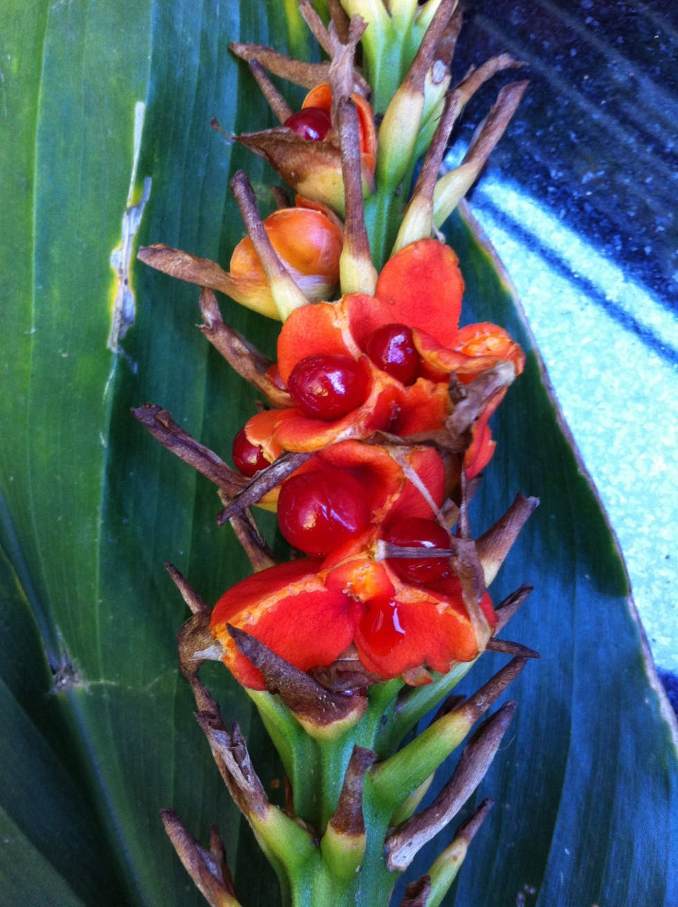 Seeds of Hedychium 'Stephen', November 2013