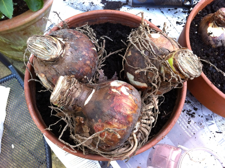 Bulbs of Hippeastrum 'Ambiance', November 2013