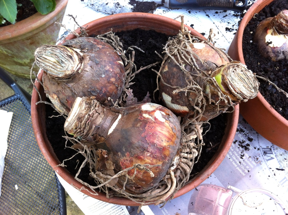Bulbs of Hippeastrum 'Ambiance', November 2013