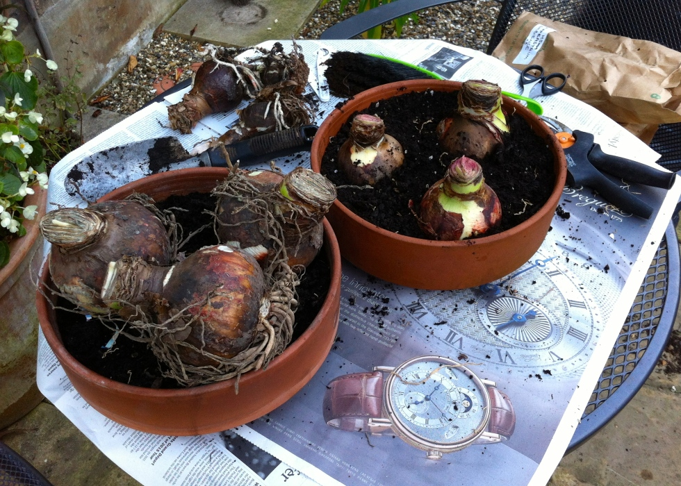 Amaryllis bulbs, November 2013