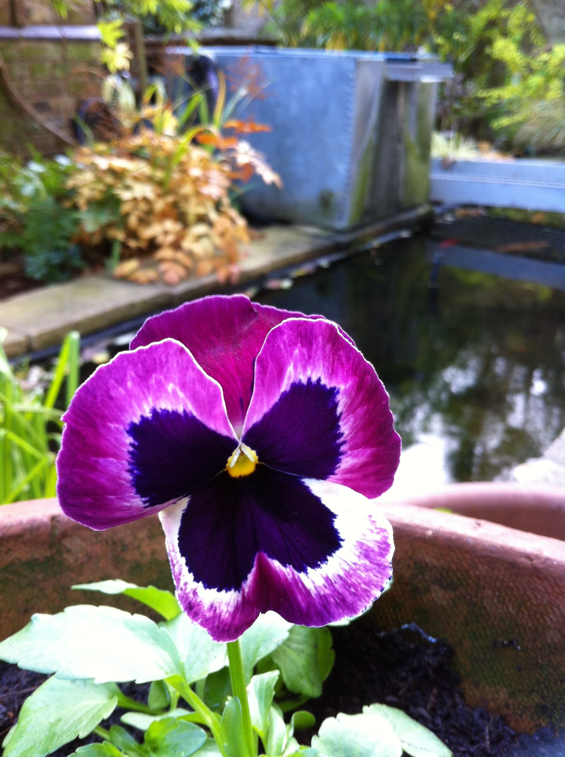 Pansy 'Matrix Cassis', November 30th 2013