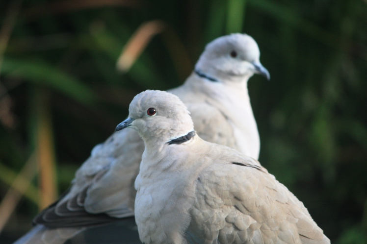 Daphne and Dudley, ring-necked doves