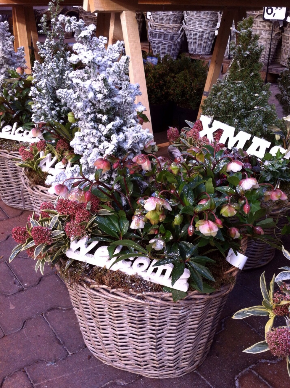 Christmas basket of hellebores and skimma, Amsterdam, December 2013