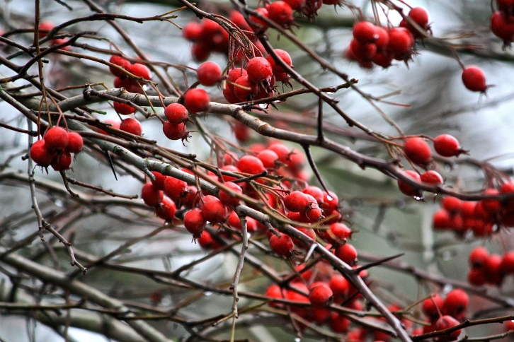 Hawthorn berries, Hampstead Heath, Boxing Day 2013