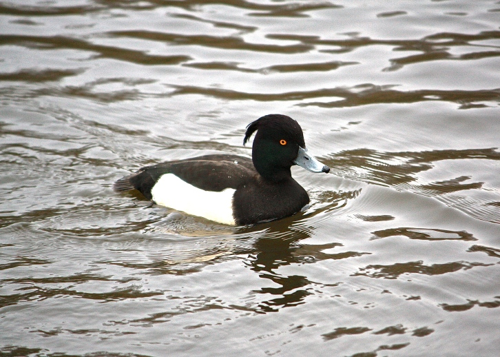 Tufted Duck, Hampstead Heath, Boxing Day 2013