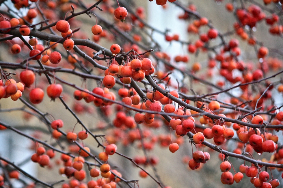 Crab apples in Hampstead, Boxing Day 2013