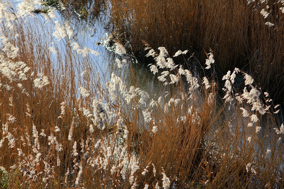 Reeds on the Wantsum River, Thanet, Kent, December 2013