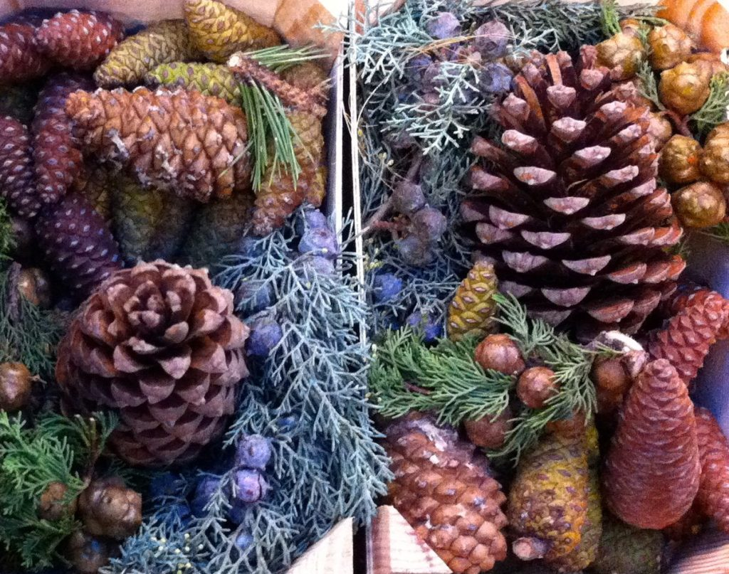 Pine cones, Holland, December 2013