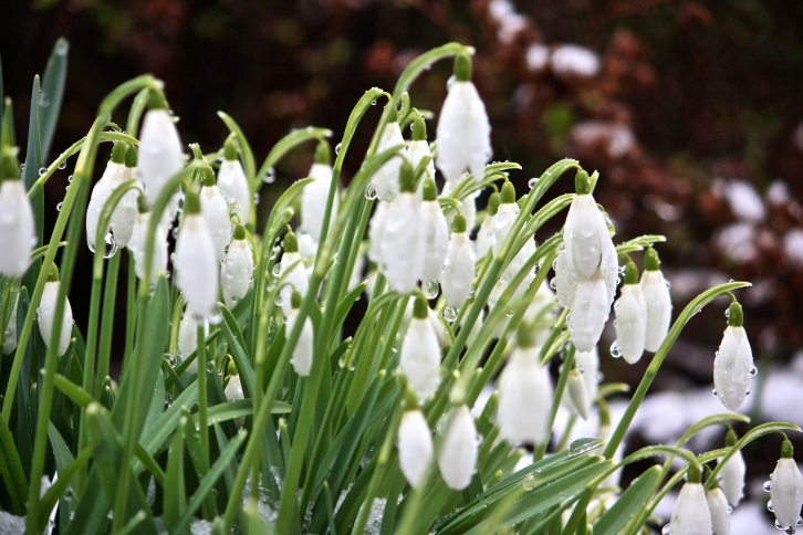 Snowdrops, Bibury, January 2013