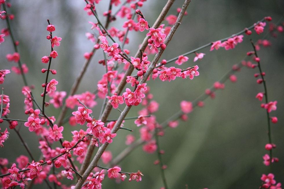 Bright pink blossom, Goodnestone Park,  March 2013
