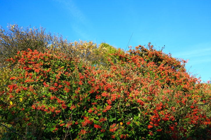 Cotoneaster berries, Dumpton Gap, Jan 2014