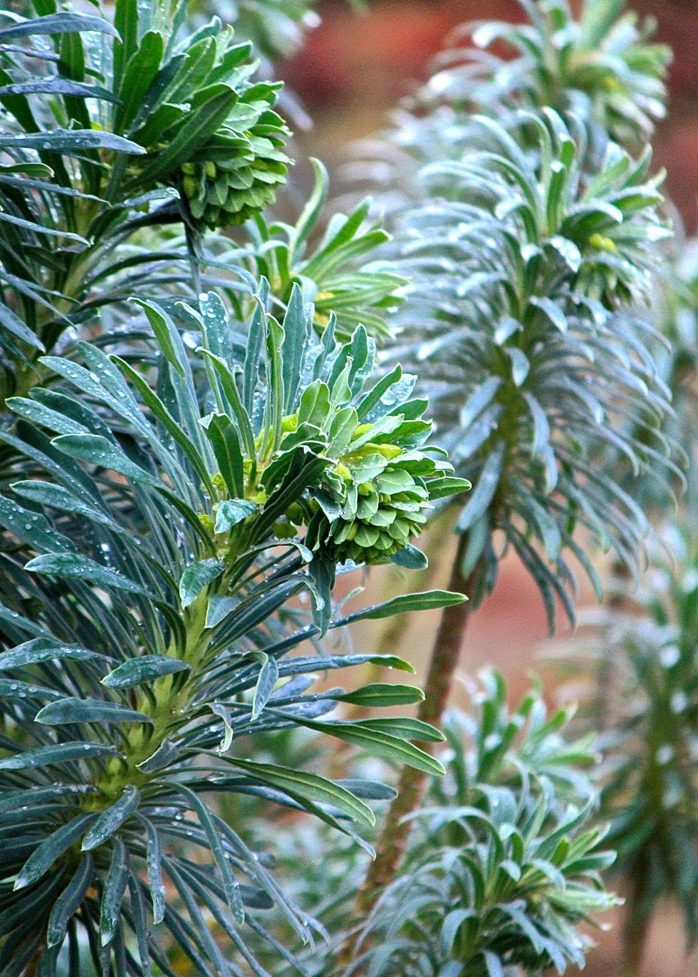 Euphorbia characias subsp. wulfenii, Waterlow Park, December 2013