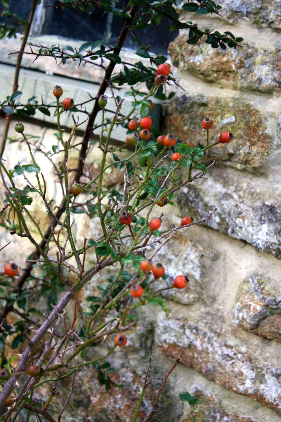 Rosehips, Trevoole, January 2014