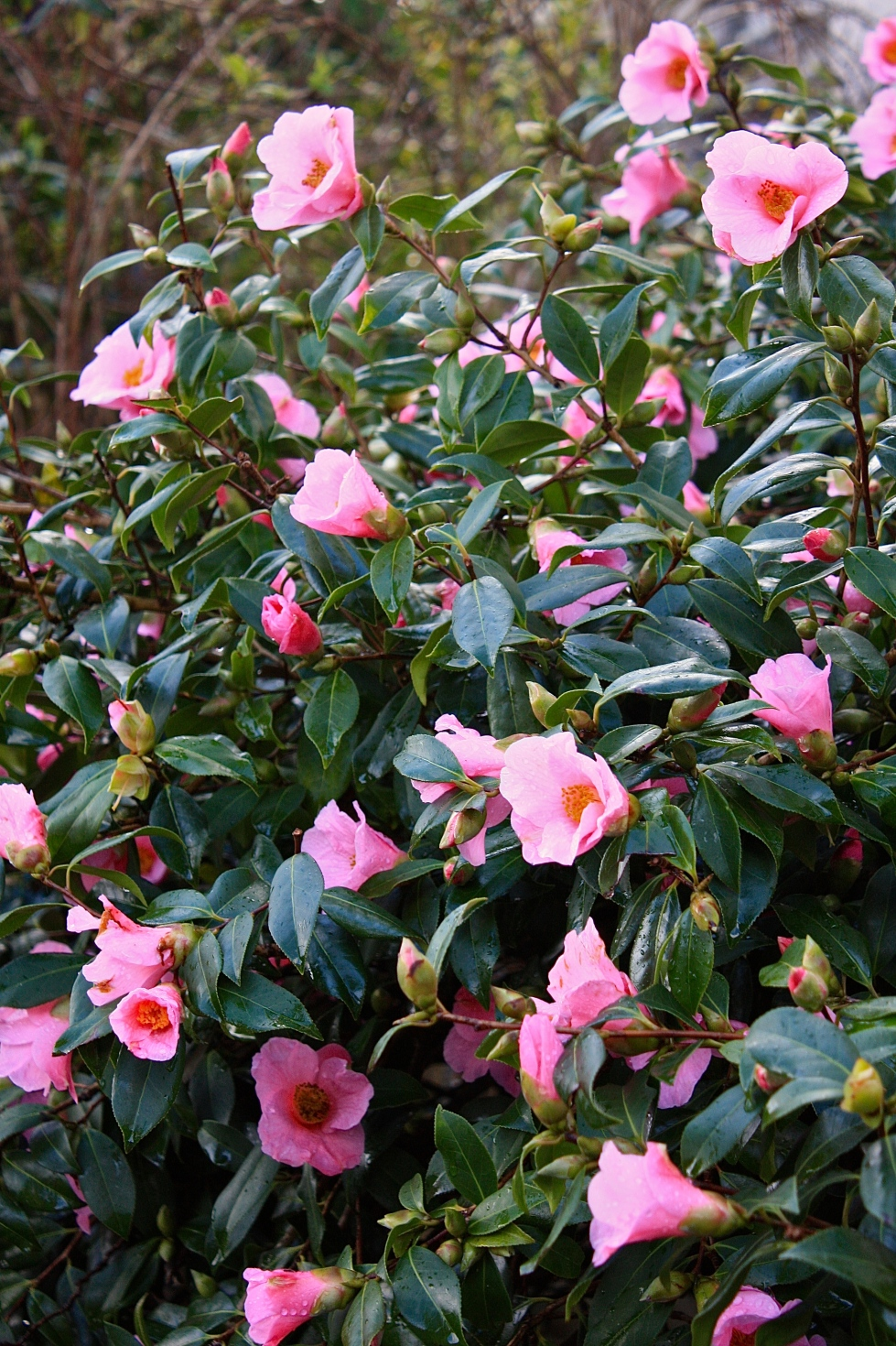 Camellia 'Cornish Spring', St Ives, January 2014