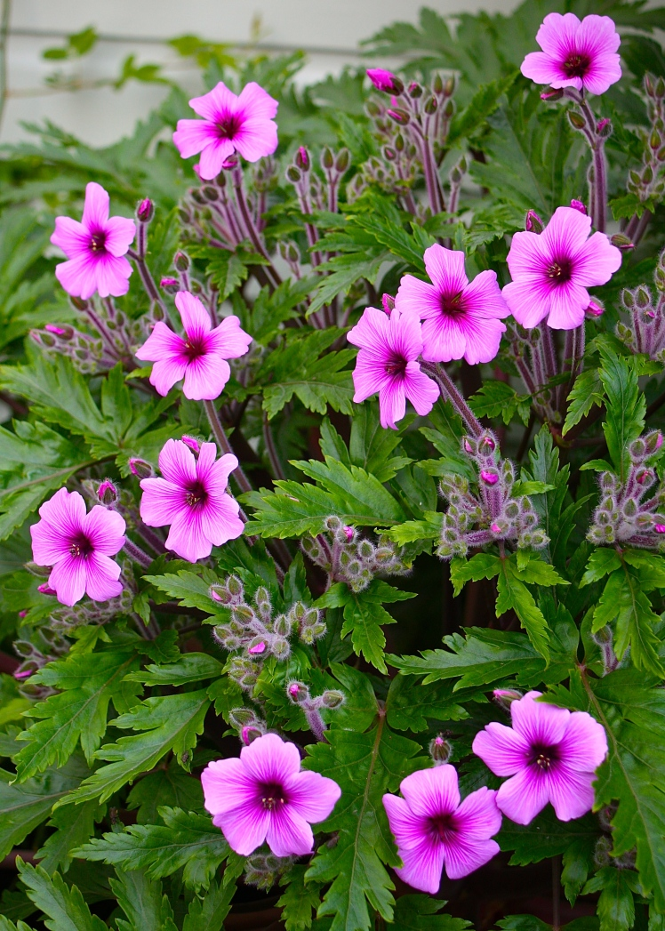 The first flowers of Geranium maderense emerge from the foliage before exploding into a giant mop-head of bloom