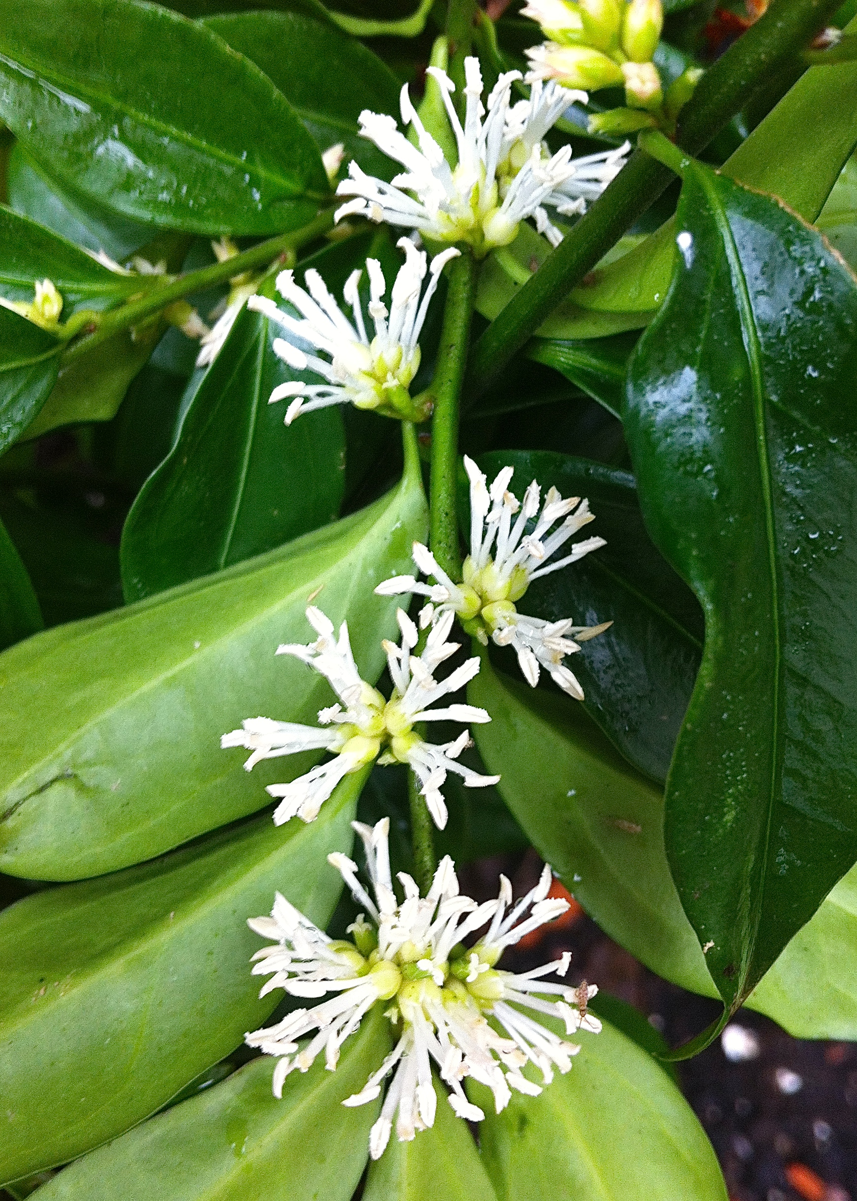 Sarcococca ruscifolia, London, Jan 2014