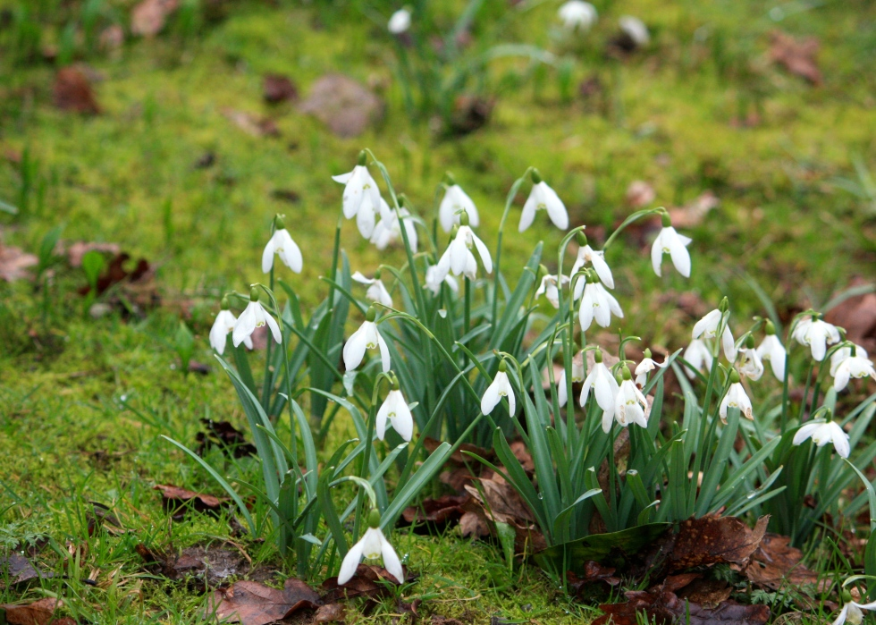 Snowdrops, Goodnestone Park, March 2013