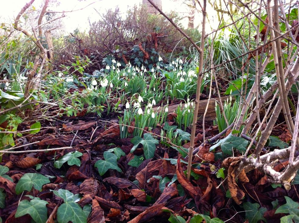 Snowdrops, Galanthus nivalis, Pierremont Park, Broadstairs, Feb 2014