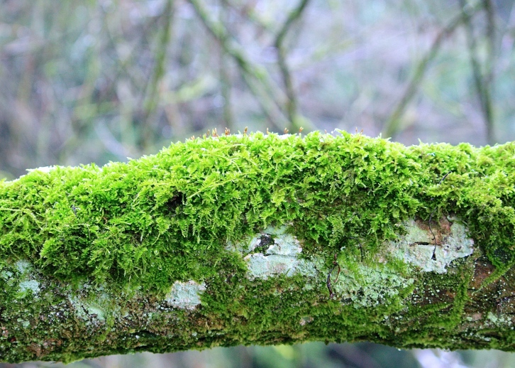 Moss on a branch, Bibury, Jan 2013