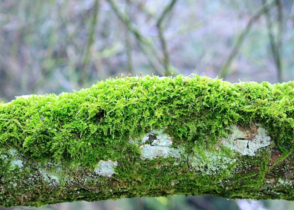 Moss on a branch, Bibury, Jan 2013