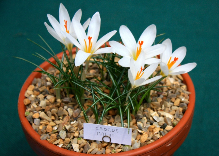 Crocus mayli, RHS Spring Flower Show 2013, London