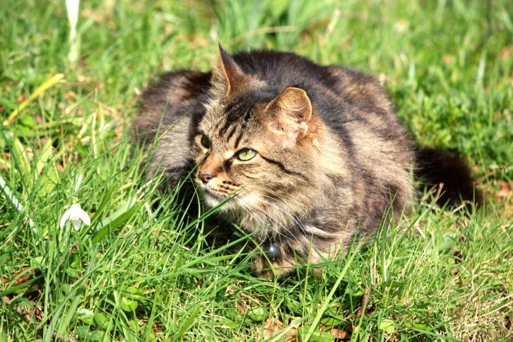The only member of the feline galanthus society, Bosvigo, 2014