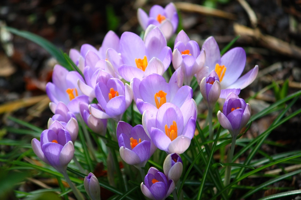 Crocuses catching the sunlight at Bosvigo Hellebore Day in 2014