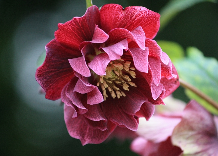 I named this beautiful Bosvigo double hellebore 'Blackberry Fool'