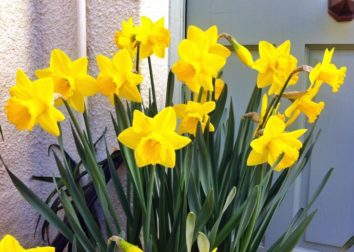 Narcissus 'St Keverne', The Watch House, March 2014