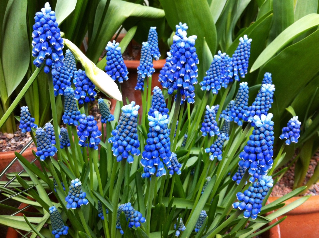 11 >> Daily Flower Candy – Muscari aucheri 'Blue Magic' – The Frustrated Gardener