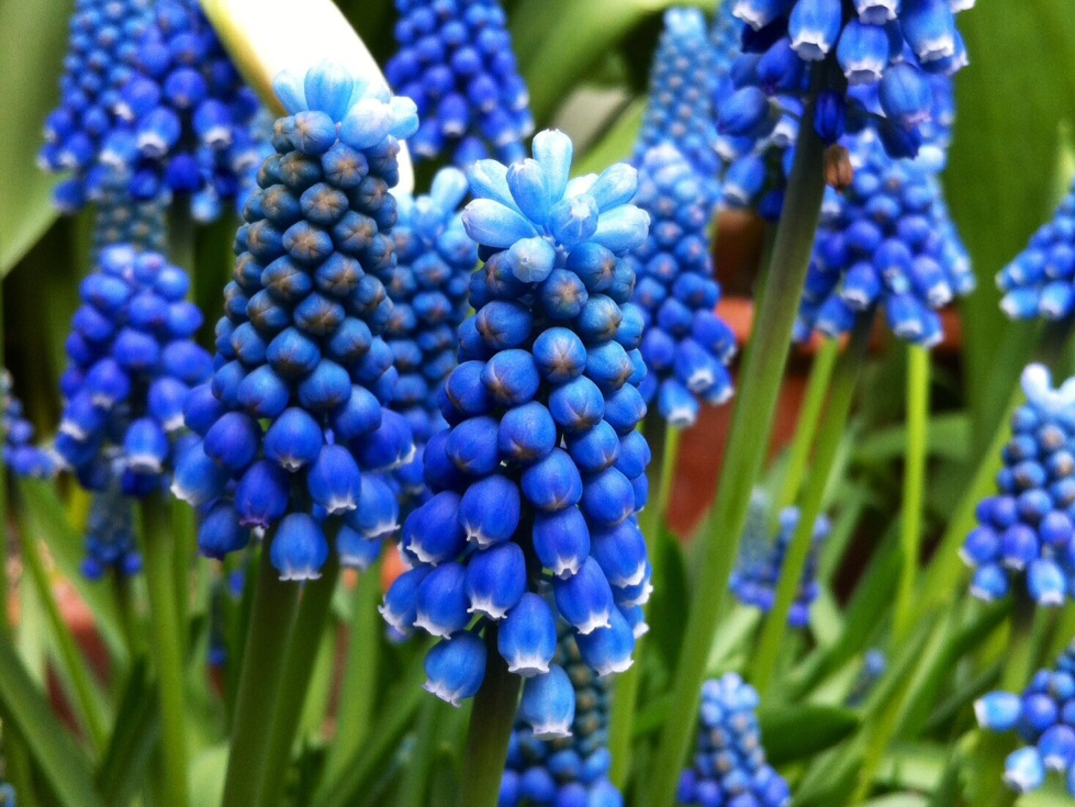 Muscari aucheri 'Blue Magic', The Watch House, March 2014