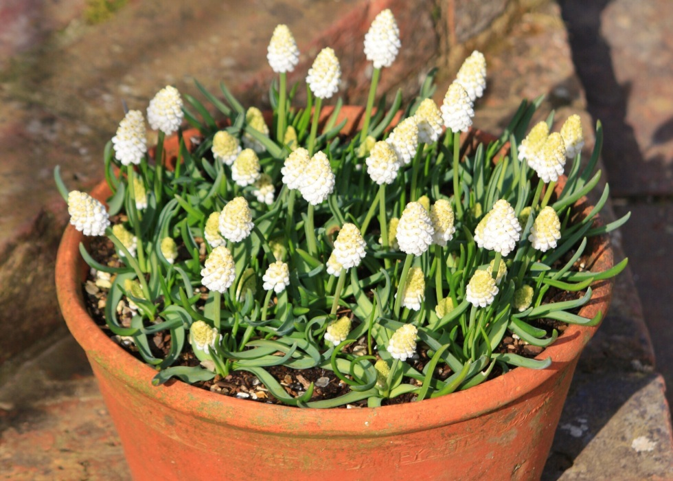 Muscari aucheri 'White Magic', The White Garden, Sissinghurst, March 2014