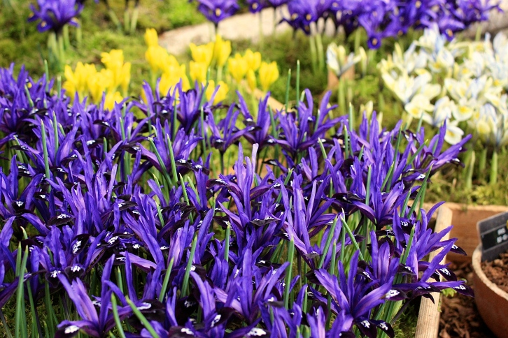 Iris reticulata 'Blue Note' in foreground. RHS London Plant and Design Show 2014