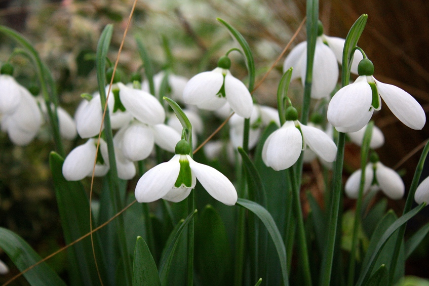 Galanthus 'Melanie Broughton', RHS London Plant and Design Show 2014