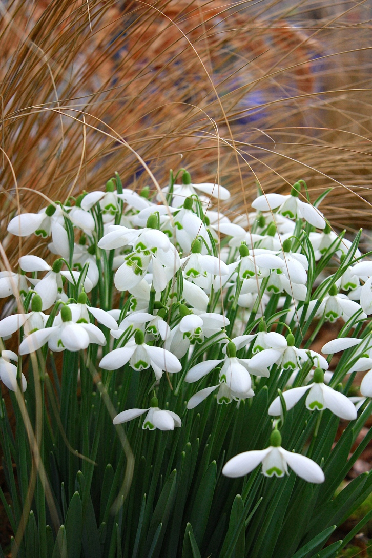 Galanthus 'Galatea', Avon Bulbs, RHS Spring Plant and Design Show 2014