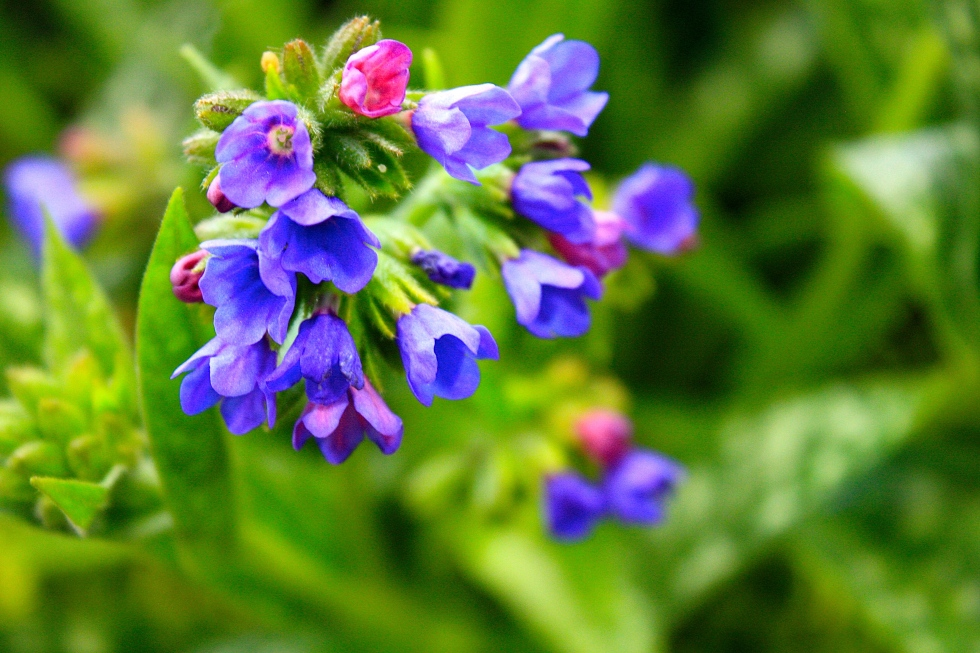 Pulmonaria longiflora 'Bertram Anderson', RHS London Plant and Design Show 2014