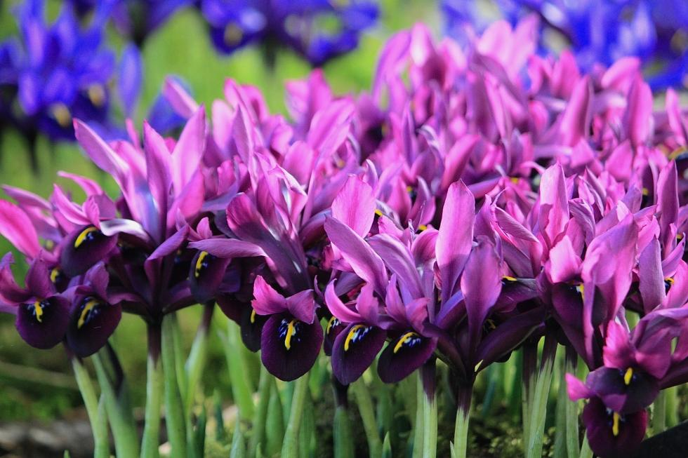 Iris reticulata 'George'