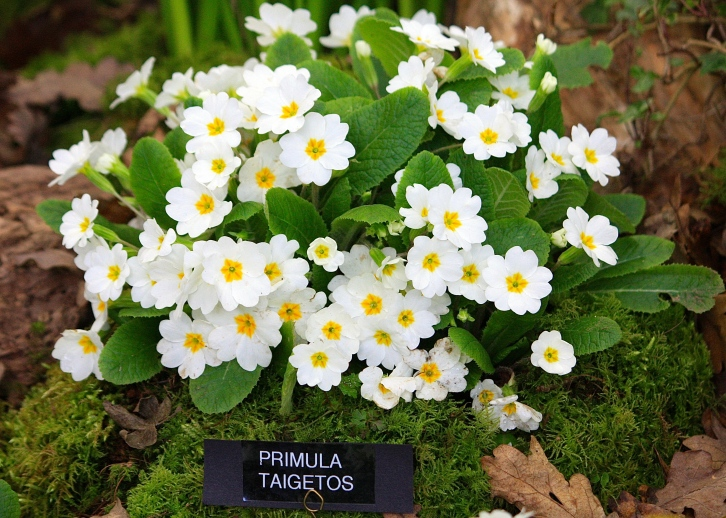 Primula vulgaris 'Taigetos', Broadleigh Gardens, RHS London Spring Plant and Design Show 2014