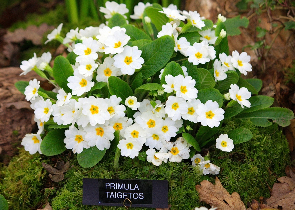 Primula vulgaris 'Taigetos', Broadleigh Gardens, RHS London Spring Plant and Design Show 2014