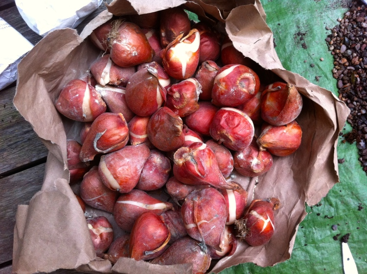 Tulip bulbs are best purchased afresh and planted once the weather turns cold in autumn or early winter