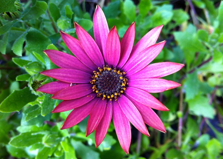 Our first osteospermum flower, March 14 2014