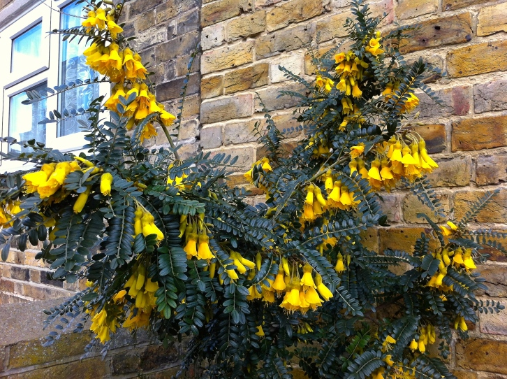 """Sophora microphylla 'Sun King"""", The Watch House, March 2014"""