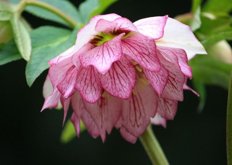 Helleborus x hybridus 'Bosvigo Doubles' (Strawberry Parfait) gives me strength