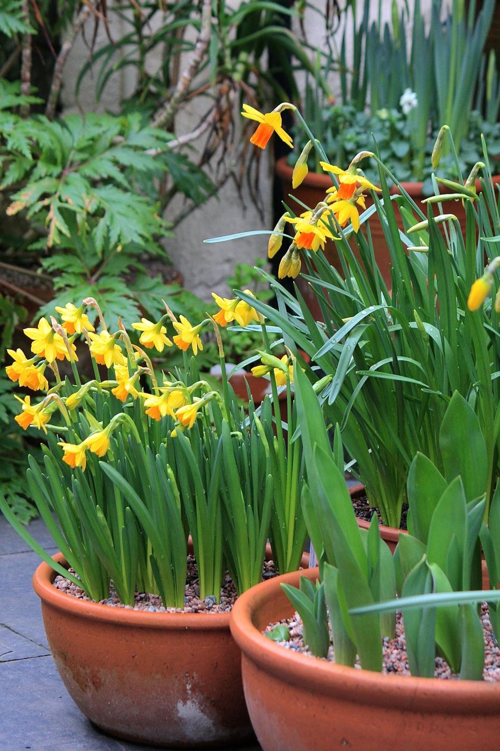 Narcissus 'Tete-a-Tete' and Narcissus 'Jetfire', Feb 2014