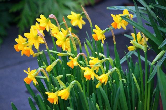 Narcissus Tete-a-Tete, March 2014
