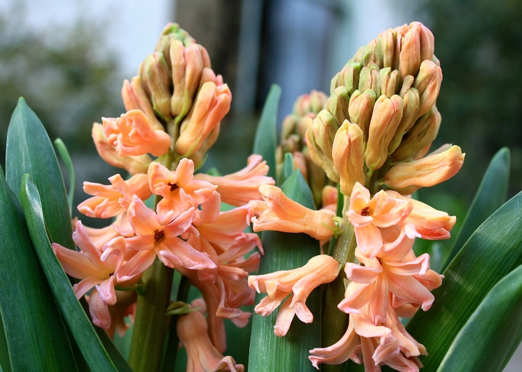 Hyacinthus orientalis 'Gipsy Queen' AGM, March 2014