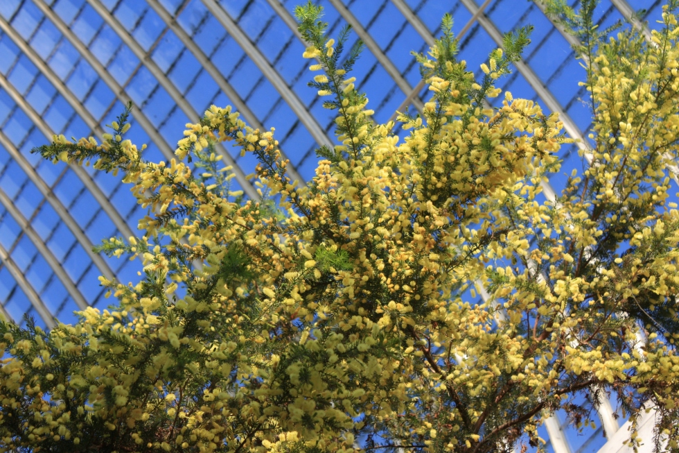 Mimosa flowers in the pavilion, Sheffield Botanical Gardens, March 2014