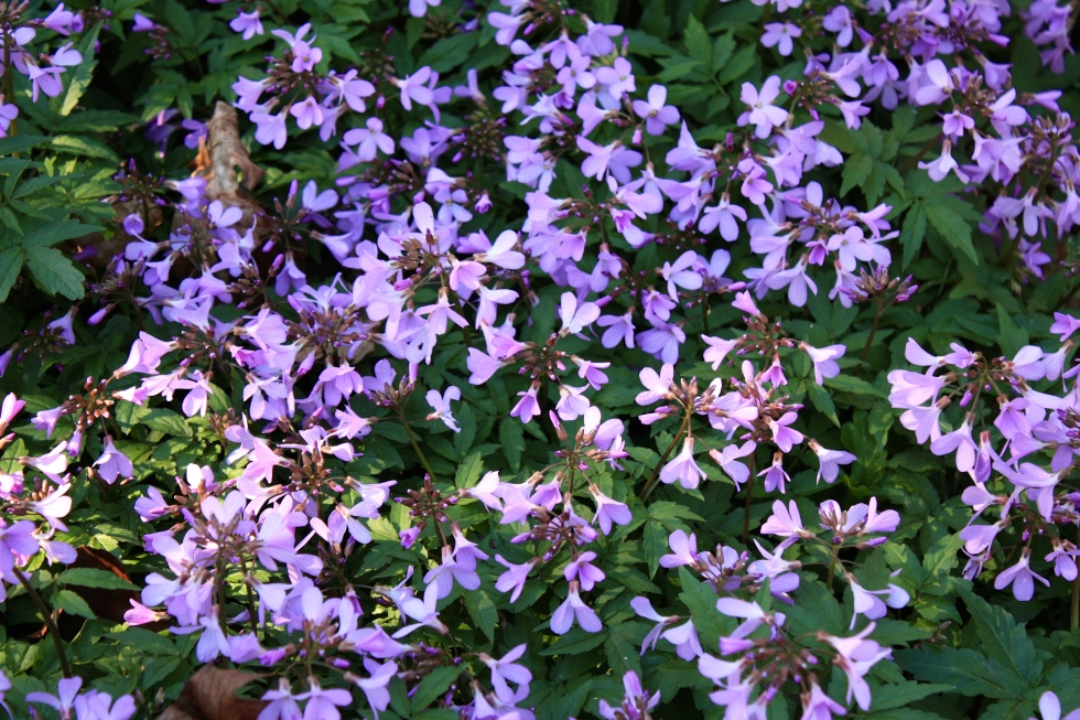 Cardamine pentaphylla, Sheffield Botanical Gardens, March 2014